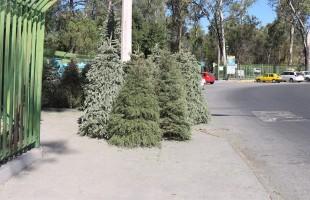 Recolección de pinos navideños continuará hasta fines de febrero
