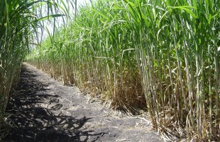 La caña de azúcar cultivo agrícola más importante